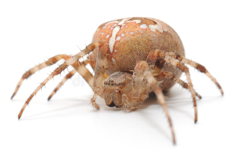 Download House spider stock photo. Image of insects, view, nature - 33548872