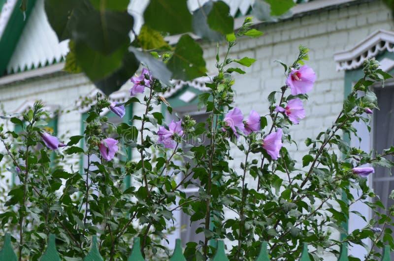 White hibiscus stock photography