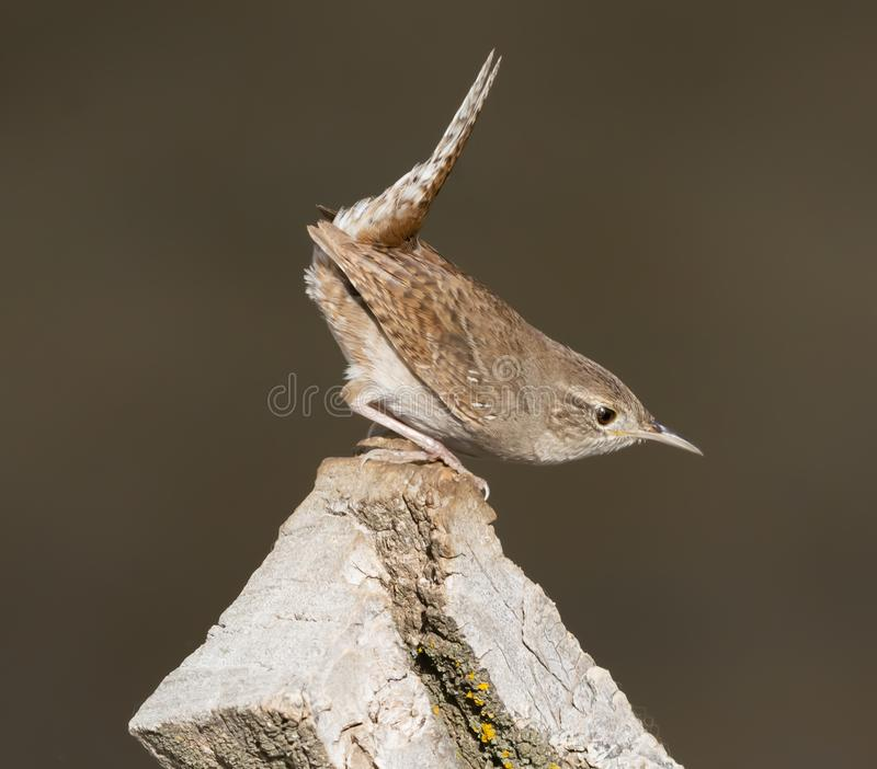 House Wren making it`s springtime display royalty free stock images