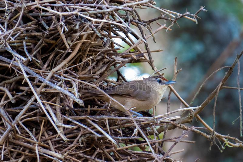 House Wren Troglodytes aedon bird that inhabits a large part of the Americas, in its nest made with tree twigs royalty free stock photography