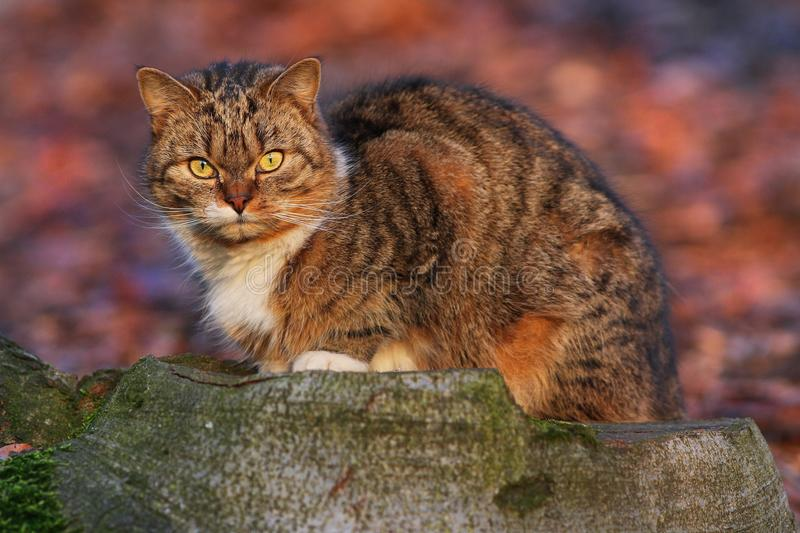 Housecat. Domestic cat catching a mouse in a beautiful light royalty free stock photo