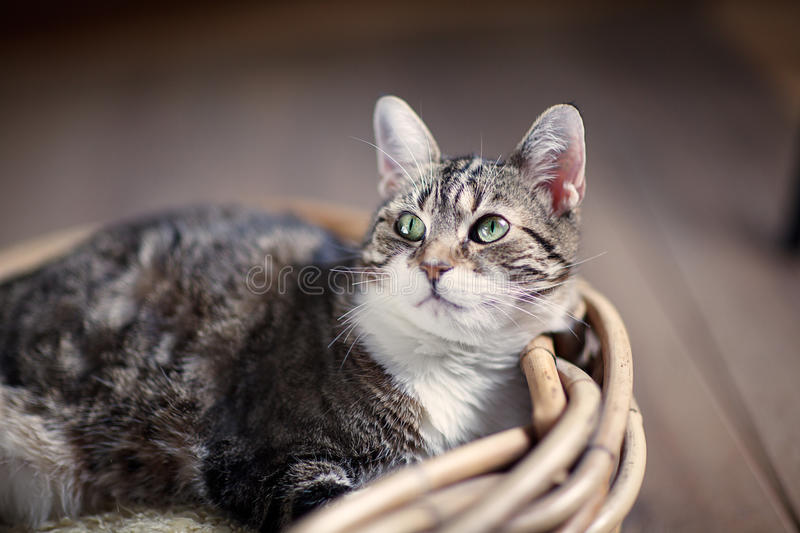 Housecat. Three-Colored Housecat lying in wooden wicker basket royalty free stock photo