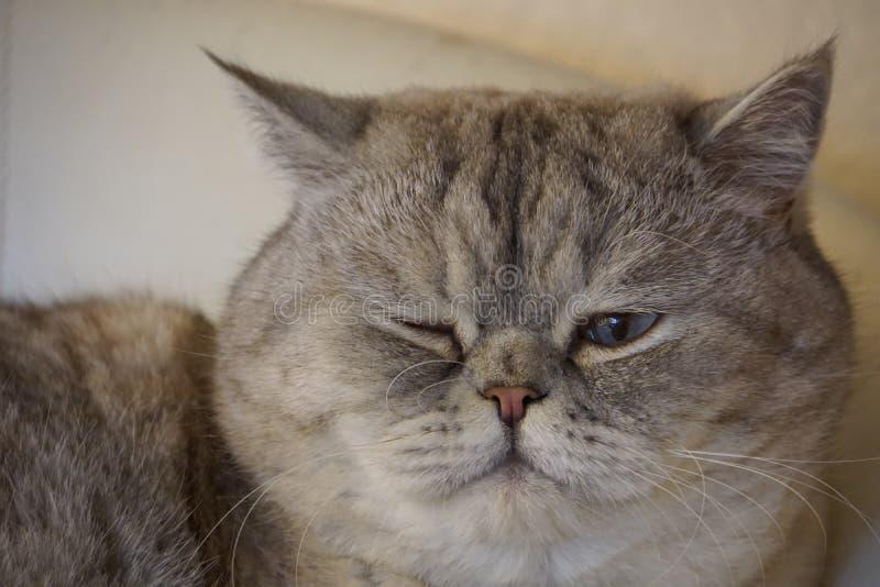 Housecat. Cat posing on camera, SCOTTISH STRAIGHT stock images