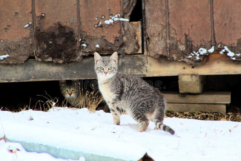 Housecat domestique dans la neige par une vieille grange photos stock