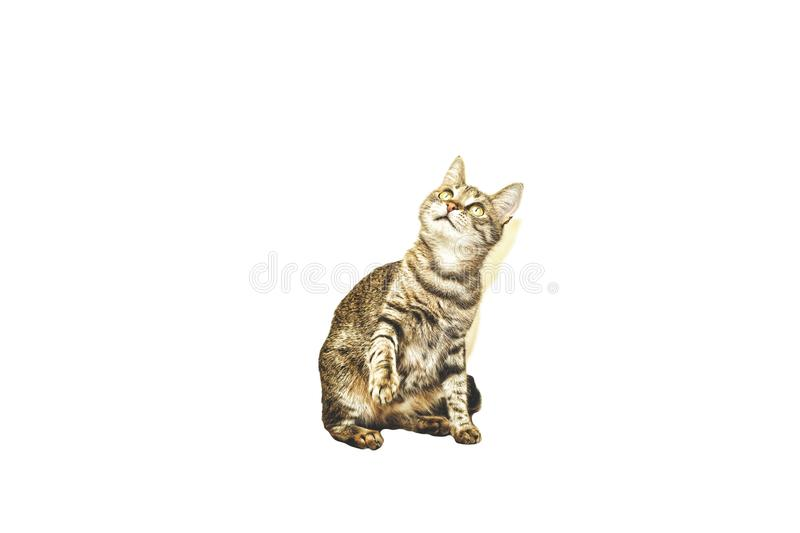 Housecat isolated on white. With dollar signs in the eyes. Conception: enrichment, profit, transaction, profit,. Housecat isolated on white. With dollar signs in stock photography