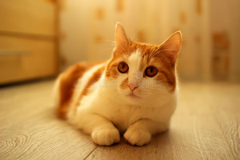 Housecat, lazily sitting on the floor. In the room royalty free stock images