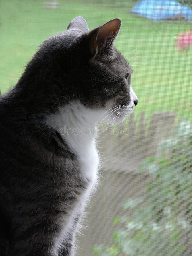 Housecat peering through screened window stock image