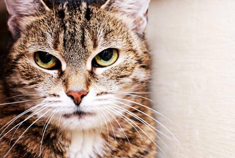 Housecat Portrait. Portrait of a female tabby housecat stock image
