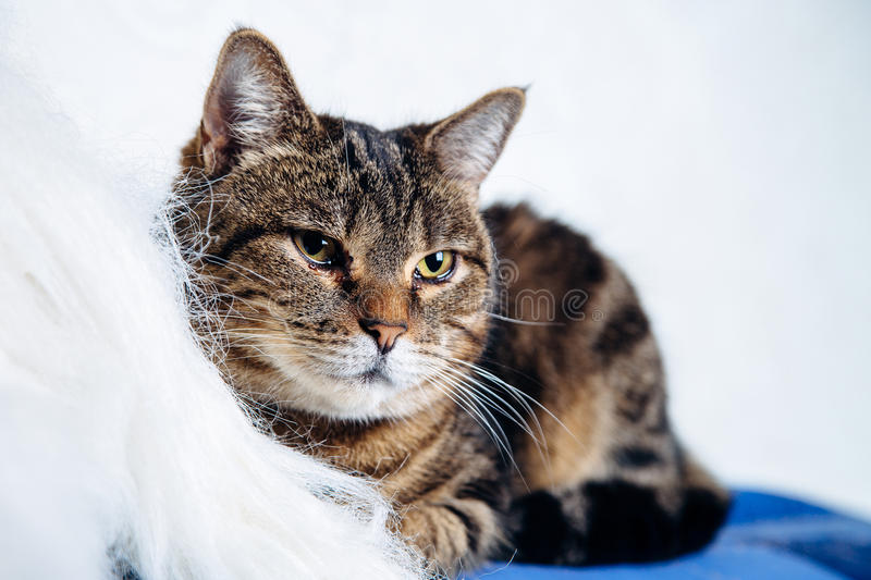 Housecat tabby lying on a white background. No people royalty free stock image