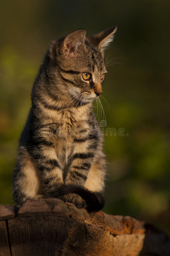Housecat on the throne. The `Lion` waiting for prey royalty free stock photo