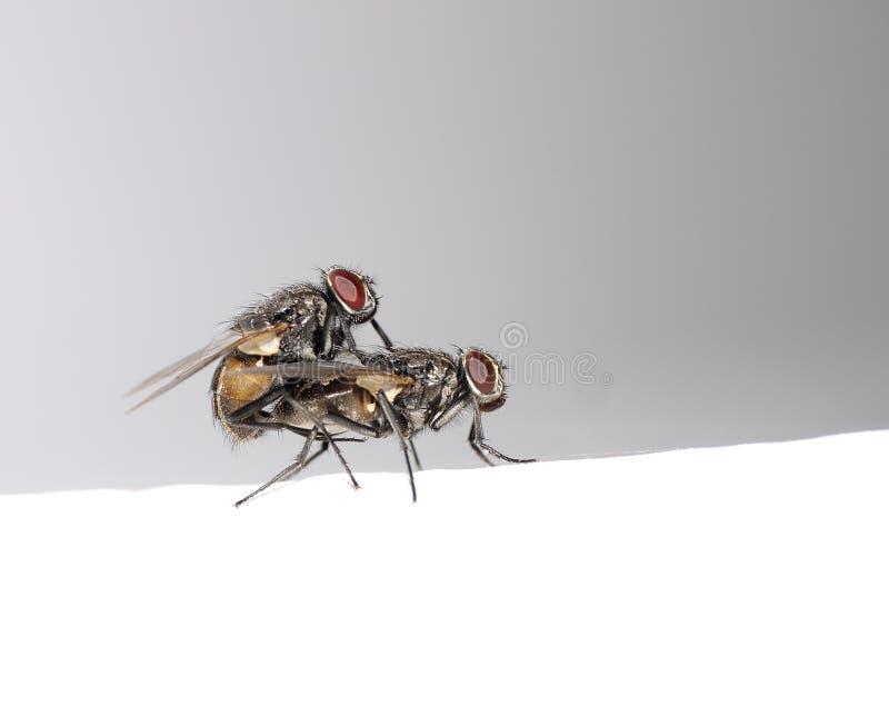 houseflies мухы сопрягая самозарождение 2 стоковые фото