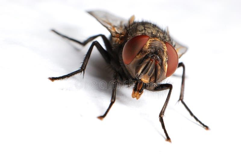 housefly стоковая фотография
