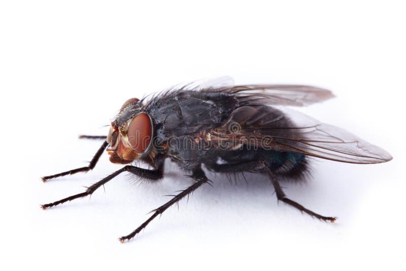 housefly royaltyfri foto