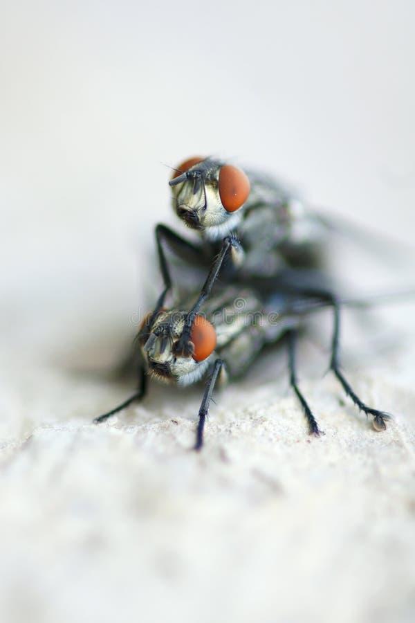 Download Housefly stock photo. Image of twain, pair, animal, houseflies - 24530192