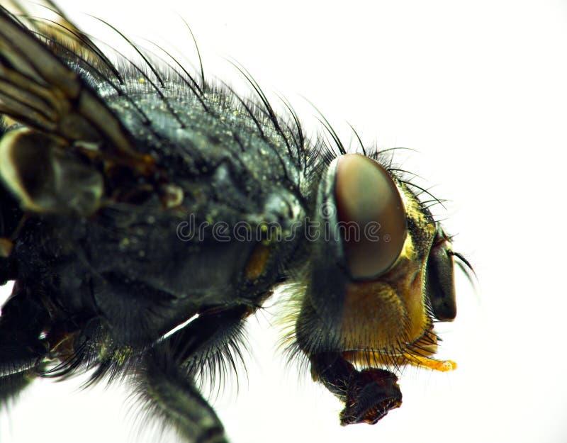 housefly стоковые изображения rf