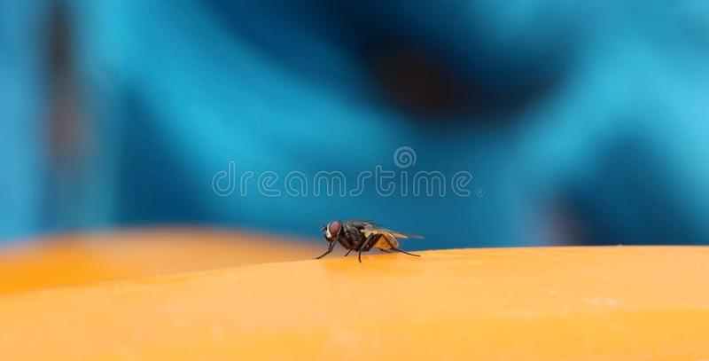 The housefly insect resting on the yellow surface royalty free stock photography
