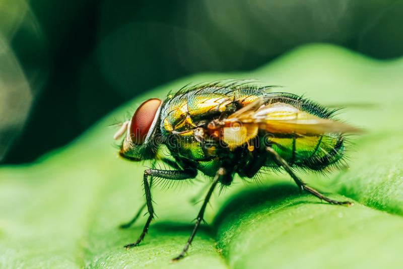 Housefly On A Leaf royalty free stock photography
