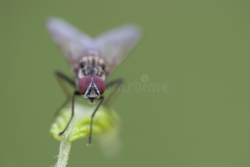 Housefly on a leaf. With a green background and small depht of focus royalty free stock photo