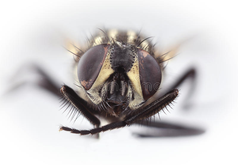HouseFly Magnification royalty free stock photos