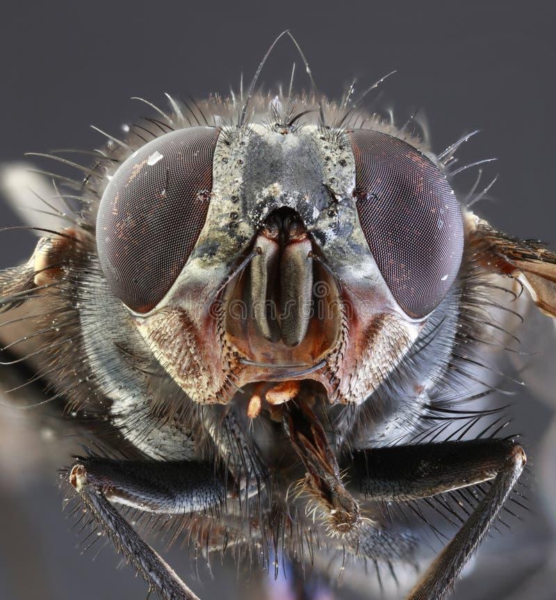 Housefly Makro- fotografia royalty free
