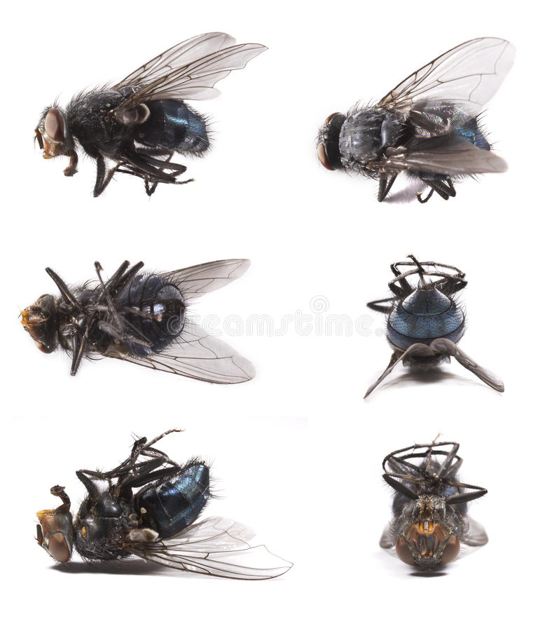 Download Housefly, Musca Domestica Stock Photos - Image: 26467673