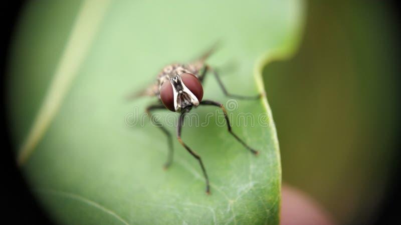 Housefly obsiadanie na liściu z krańcową makro- fotografią obrazy royalty free