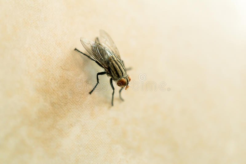 Housefly on yellow tile floor stock photos