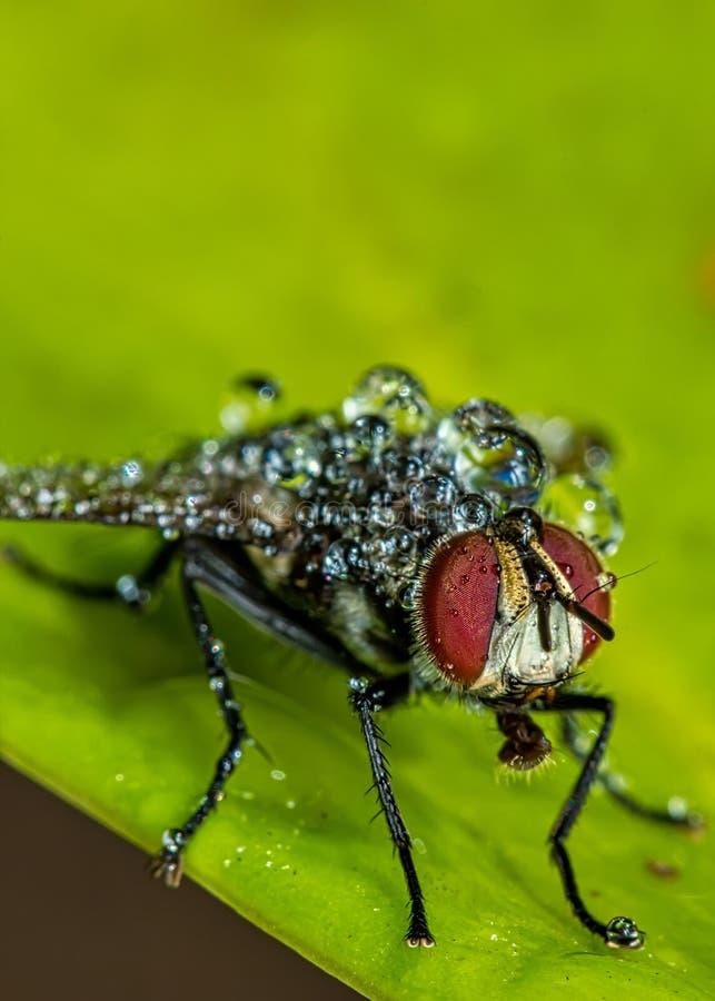 Housefly z wodą opuszcza na liściu - makro- fotografia housefly na liściu z wodnymi kropelkami na ciele obraz royalty free
