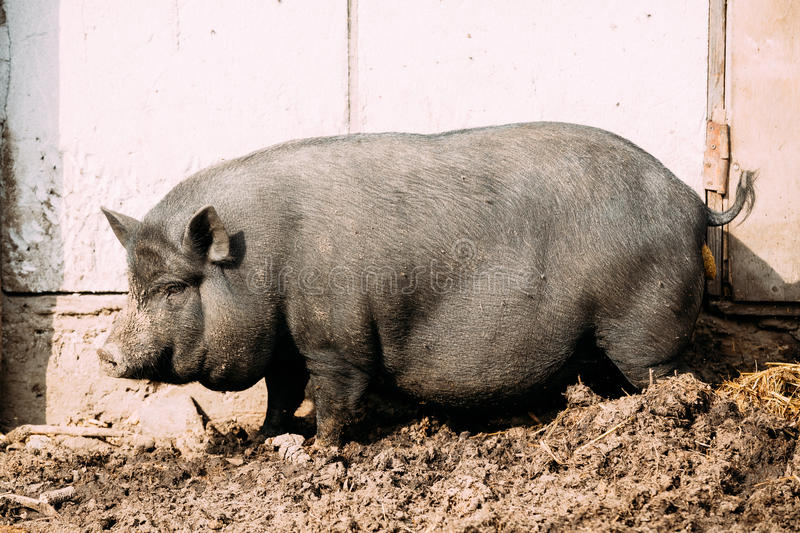 Household A Large Black Pig In Farm. Pig Farming Is Raising And Breeding Of Domestic Pigs. It Is A Branch Of Animal Husbandry. Pigs Are Raised Principally As royalty free stock photo