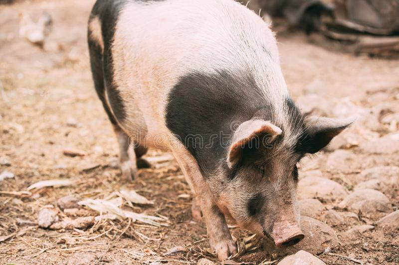Household A Large White Pig In Farm Livestock Yard. Pig Farming stock photography