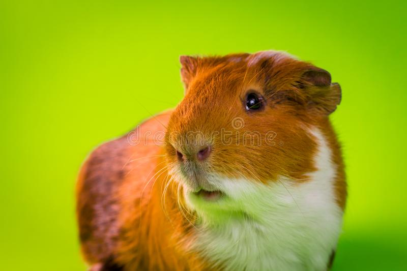 Household Pet Guinea Pig. Friendly household pet guinea pig in studio shot royalty free stock photos