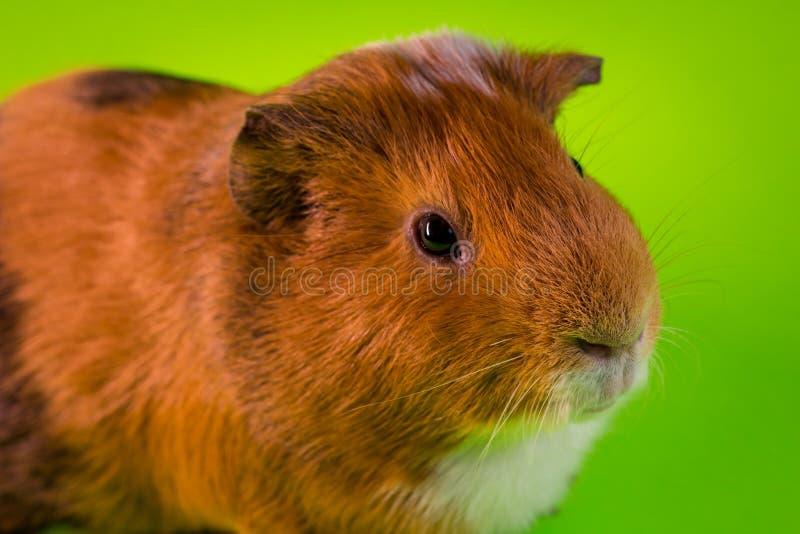 Household Pet Guinea Pig. Friendly household pet guinea pig in studio shot stock photo