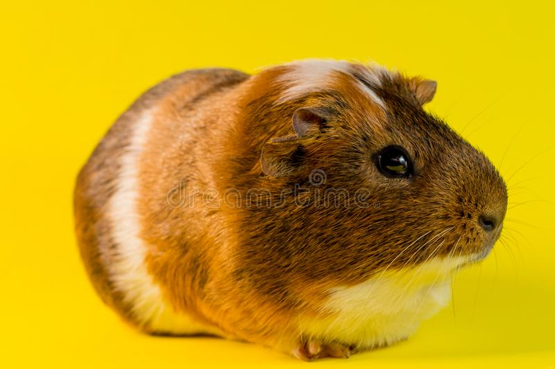Household Pet Guinea Pig. Friendly household pet guinea pig in studio shot stock photography