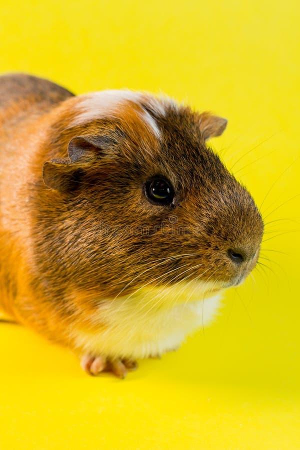Household Pet Guinea Pig. Friendly household pet guinea pig in studio shot royalty free stock image