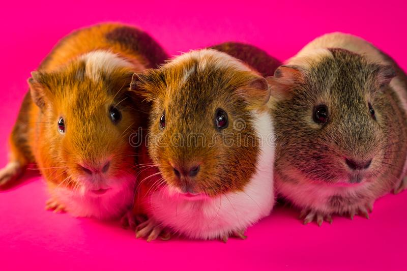 Household Pet Guinea Pig. Friendly household pet guinea pig in studio shot royalty free stock photography