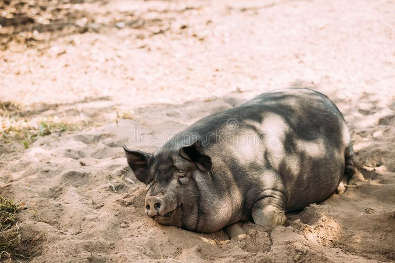 Household Pig Enjoys Relaxing In Dirt Lying In Mud. Large Black royalty free stock photos