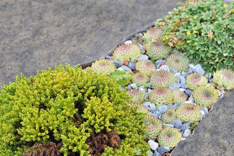 Houseleek μεταξύ των γκρίζων πετρών στοκ εικόνες με δικαίωμα ελεύθερης χρήσης