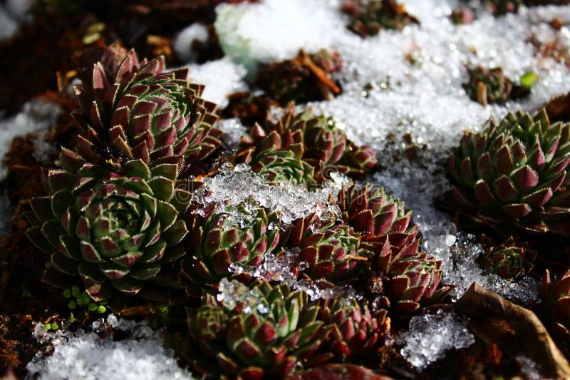 Houseleek το χειμώνα στοκ εικόνες