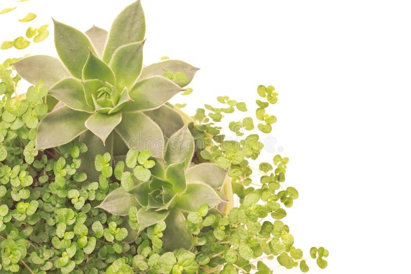 Houseleek con la fine della pianta dell'erba su su bianco fotografie stock