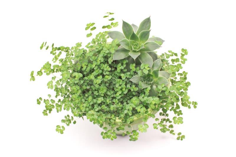Houseleek con la pianta dell'erba in vaso isolato su bianco fotografia stock