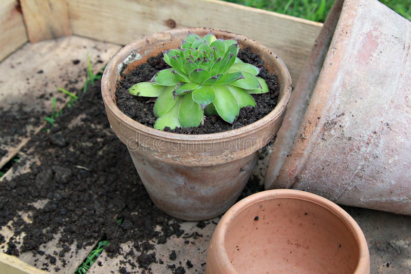 Houseleek. Just planted houseleek in ceramic flowerpot stock image