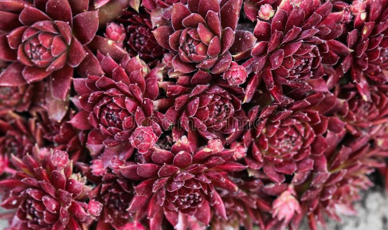 houseleek ou galinha e pintainhos comuns (Sempervivum Ace vermelho fotos de stock