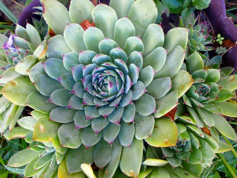 Houseleek plant, sempervivum tectorum, succulent .Green color.Potted. royalty free stock images