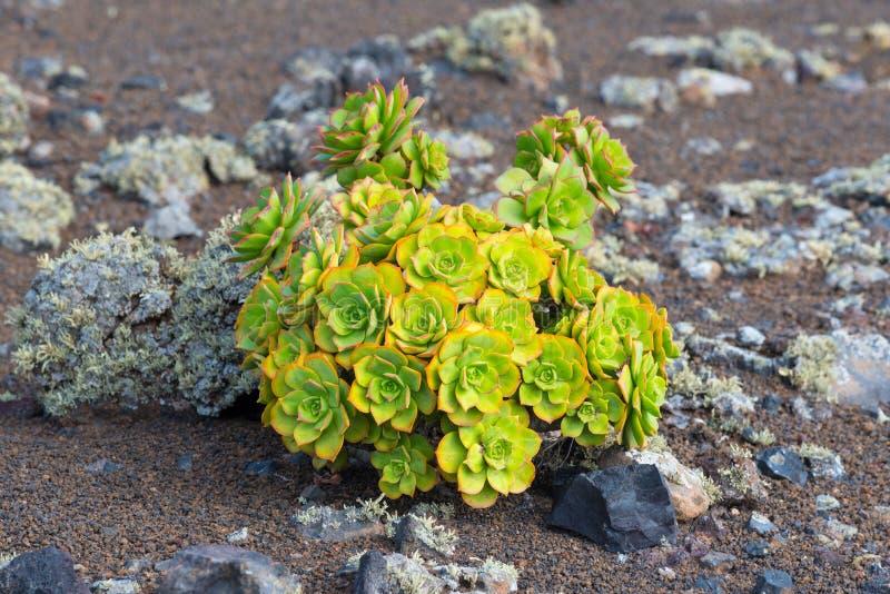 Houseleek tłustoszowata roślina zdjęcia stock