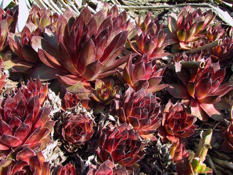 Houseleeks,拉丁名字Sempervivum,景天科家庭,普遍的庭园花木五颜六色的培育品种  免版税库存照片