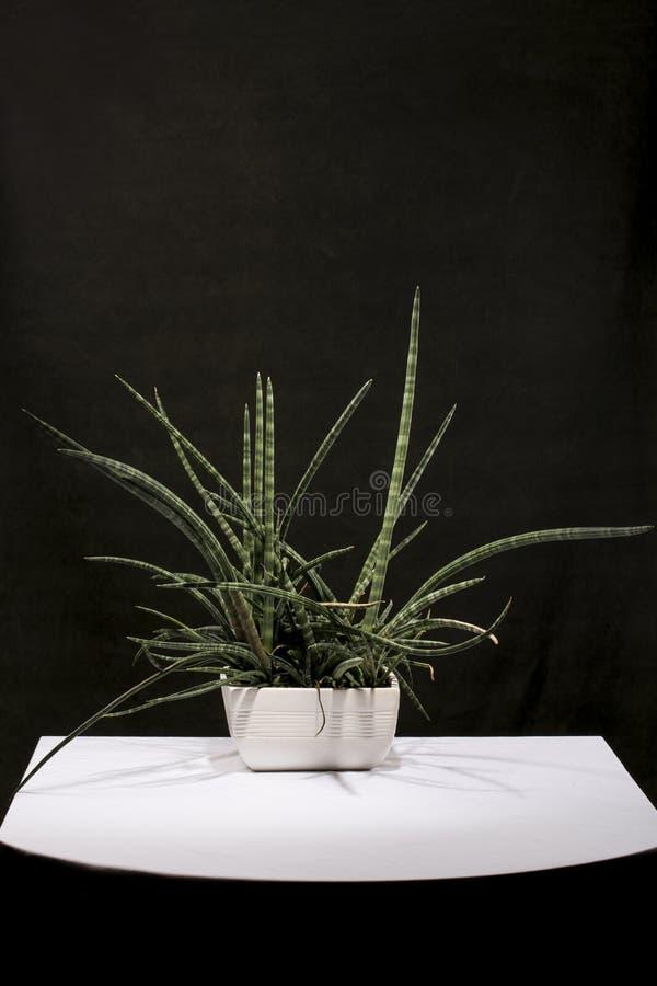 Houseplant σε ένα δοχείο σε έναν πίνακα σε ένα σκοτεινό κλίμα στοκ φωτογραφίες με δικαίωμα ελεύθερης χρήσης