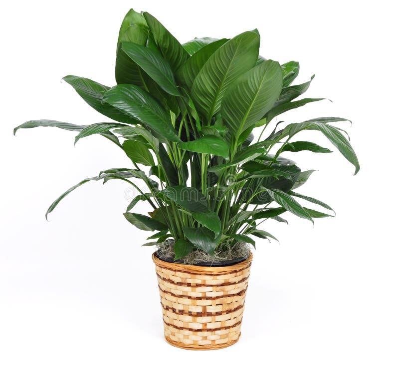 Houseplant immagine stock