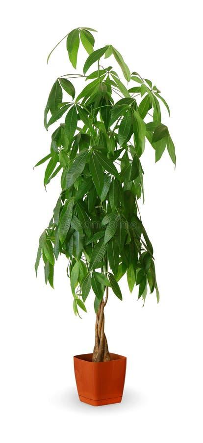 Houseplant - aquatica de Pachira uma planta em pasta isolada sobre o branco imagem de stock