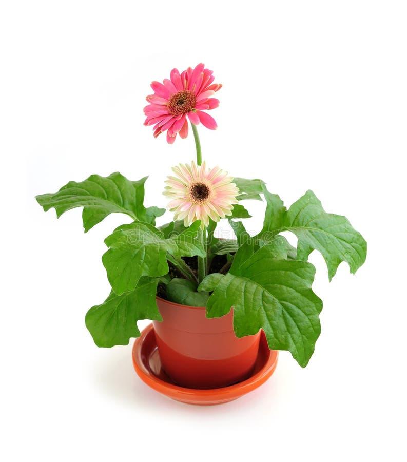 Houseplant auf weißem Hintergrund lizenzfreies stockfoto