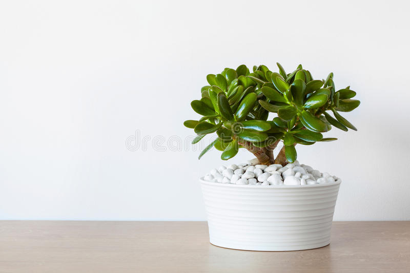 Houseplant Crassula ovata jade plant money tree in white pot royalty free stock images